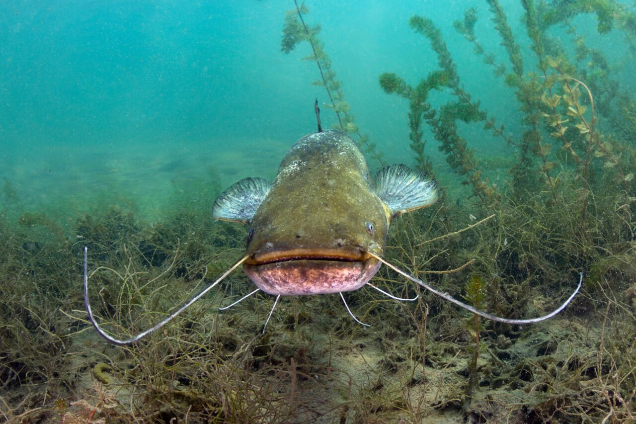 Ikan catfish Budidaya Ikan Lele inspirasi bisnis skala kecil