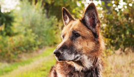 3 interesting traits that are common to all Canidae family members