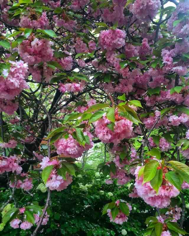 bk-blossoms