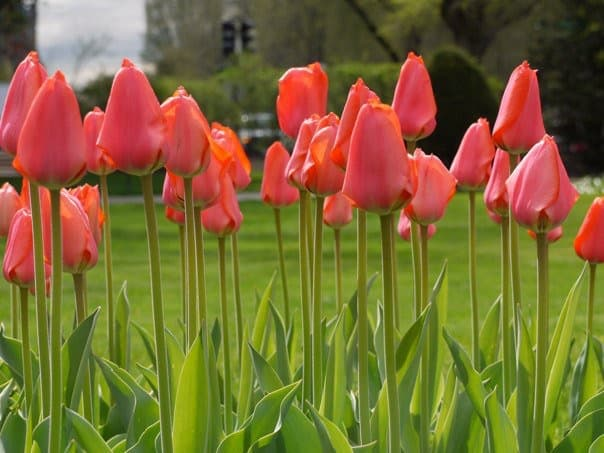 boston-pink-tulips