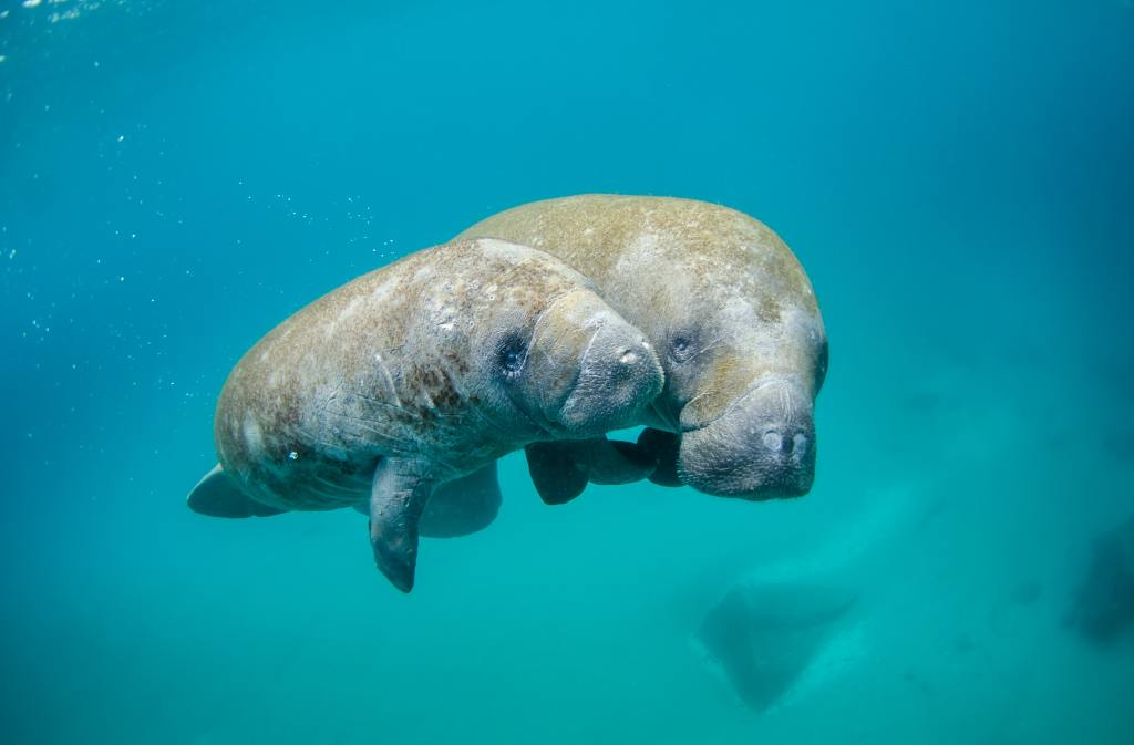 photo of manatees in florida springs with family