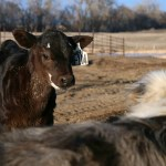 6 p.m. — Calf H-104 makes friends with the cow dog, Hank, at Magill Farms near Verona, N.D., on Tuesday, April 14, 2020.