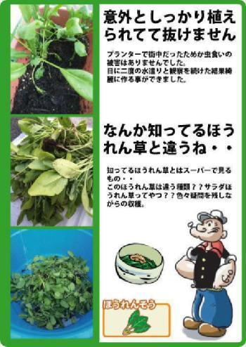 ほうれん草収穫.jpg