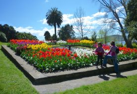 Tulips decorating the floral clock