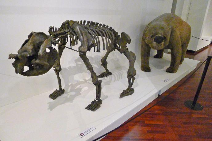 Tasmanian megafauna - Zygomaturus tasmanicum