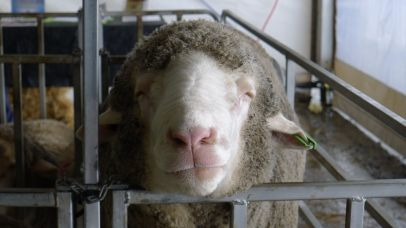 """""""Oh yeah"""" Is he glad to be out of the rain, or dreaming of ewes?"""