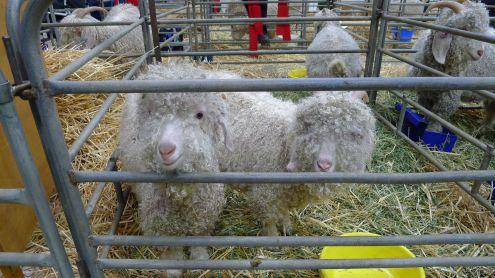 ute but cheeky angora goats