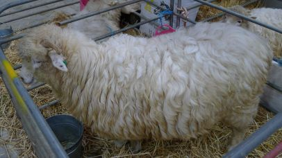 Beersheba (another British breed) has surprisingly course wool