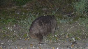 The back of a wombat