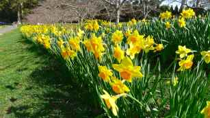 Daffodils beneath the cherry trees