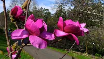 Magnolia x 'Felix'