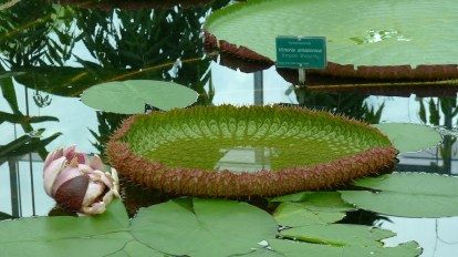 A young Amazon Waterlily pad - note the spines!