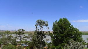 Pelicans over the Murray River at Tailem Bend