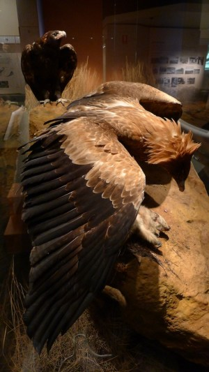 Wedge-tailed eagle from the side - a beautiful specimen, beautifully arranged