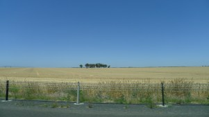 One of many wheat fields