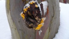 Fungi on a snow gum knot