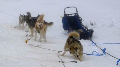 Huskies are ready to run!