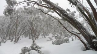 Australian bush covered in snow
