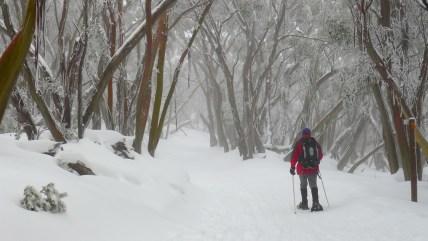 Snowshoeing through snow gums