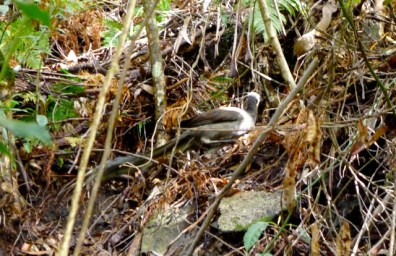 A lyrebird scratching in the groundcover
