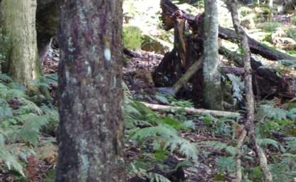 A male lyrebird dashing out of sight near the tree stump