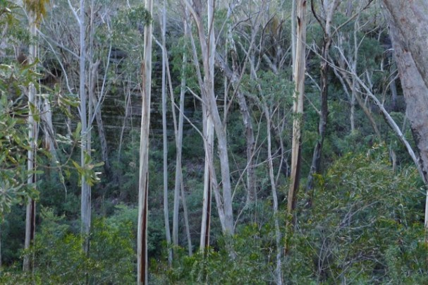 Blue Mountain Ash, a eucalypt species vulnerable to bushfires