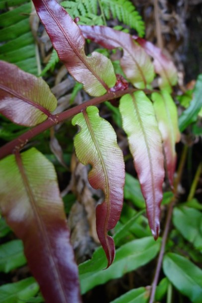 Colourful new growth on a fern