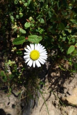 A daisy species
