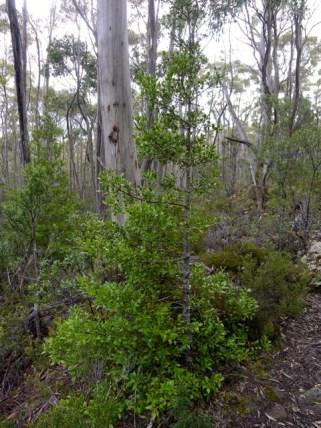 A slightly larger celerytop pine (Phyllocladus aspleniifolius)