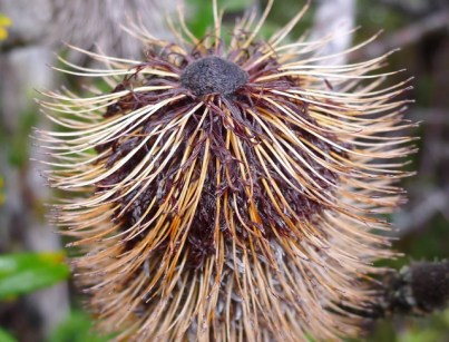 A withered banksia flower