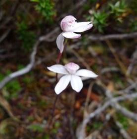 Alpine Finger-orchid (Caladenia alpina)