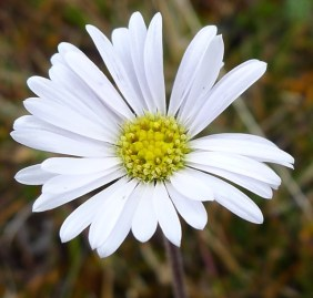 Close up of possibly a Field daisy, (Brachyscome decipiens)