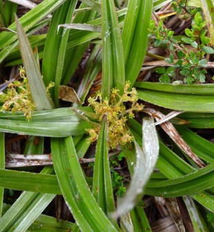 Flowers of a Pineapple grass plant (Astelia alpina)