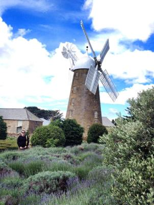Callington Mill, Oatlands - the lavender attracts lots of beneficial insects