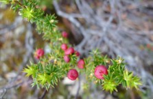 Mountain Pinkberry (Leptecophylla juniperina subsp parvifolia)