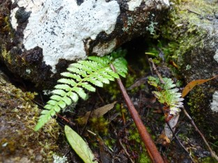 Possibly Mother shield fern (Polystichum proliferum)