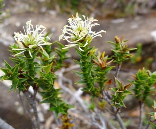 Rigid candleheath (Richea sprengelioides)