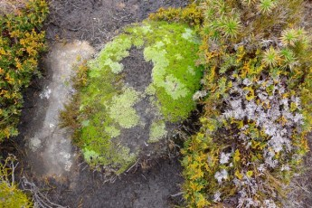 This cushionplant may never recover from being trampled. If it does, it could take decades.