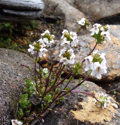 This is possibly Cushion plant eyebright (Euphrasia gibbsiae ssp. pulvinestris)