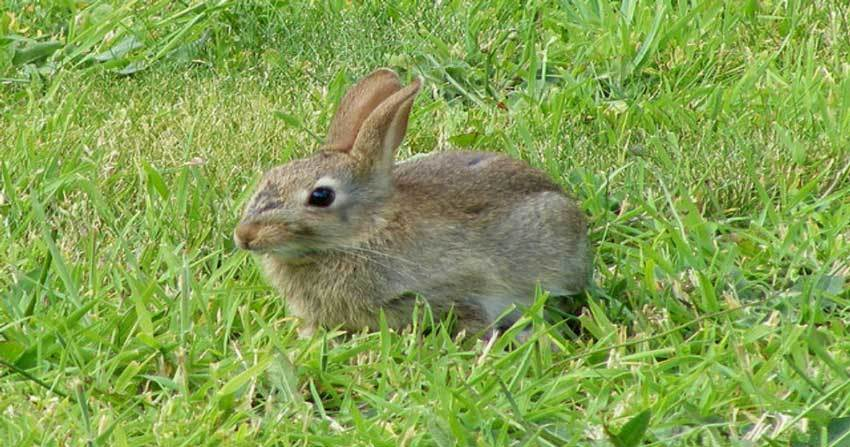 Cottontail Rabbit Hunting with Arrows and Rimfire