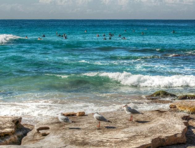 bondi seagulls
