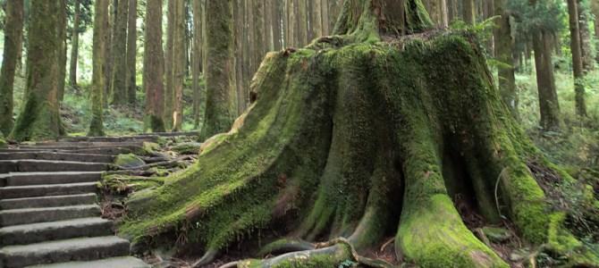 Alishan National Park – Bäume über Bäume