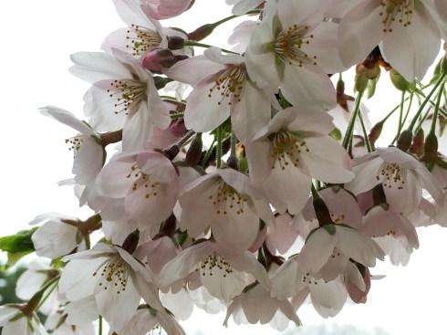 2016年見晴公園の桜