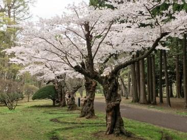 2016年見晴公園の桜-6