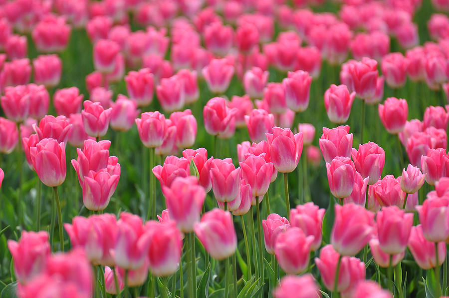 a-field-of-pink-tulips-ronda-broatch