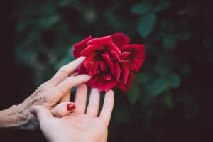 two hands reaching a rose