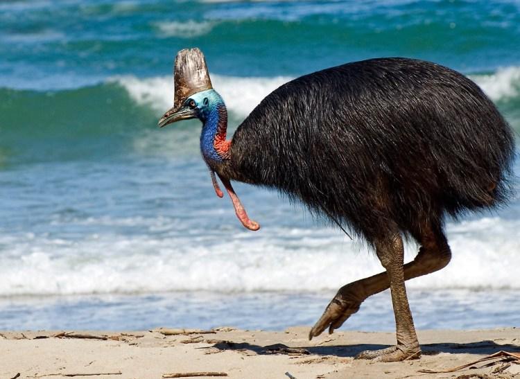 Emus and Cassowaries | Eco Platypus Tours