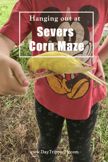 Fall fun at severs corn maze in the Twin Cities. The best Corn Maze you'll find! Family   Corn Pit   Minneapolis   Shakopee