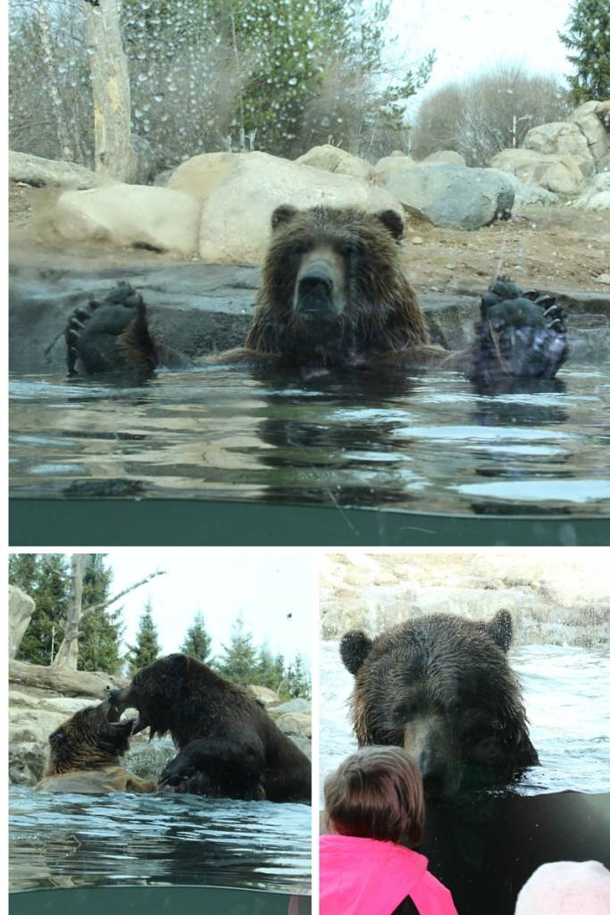The Apple Valley Bears Swimming during the spring time!