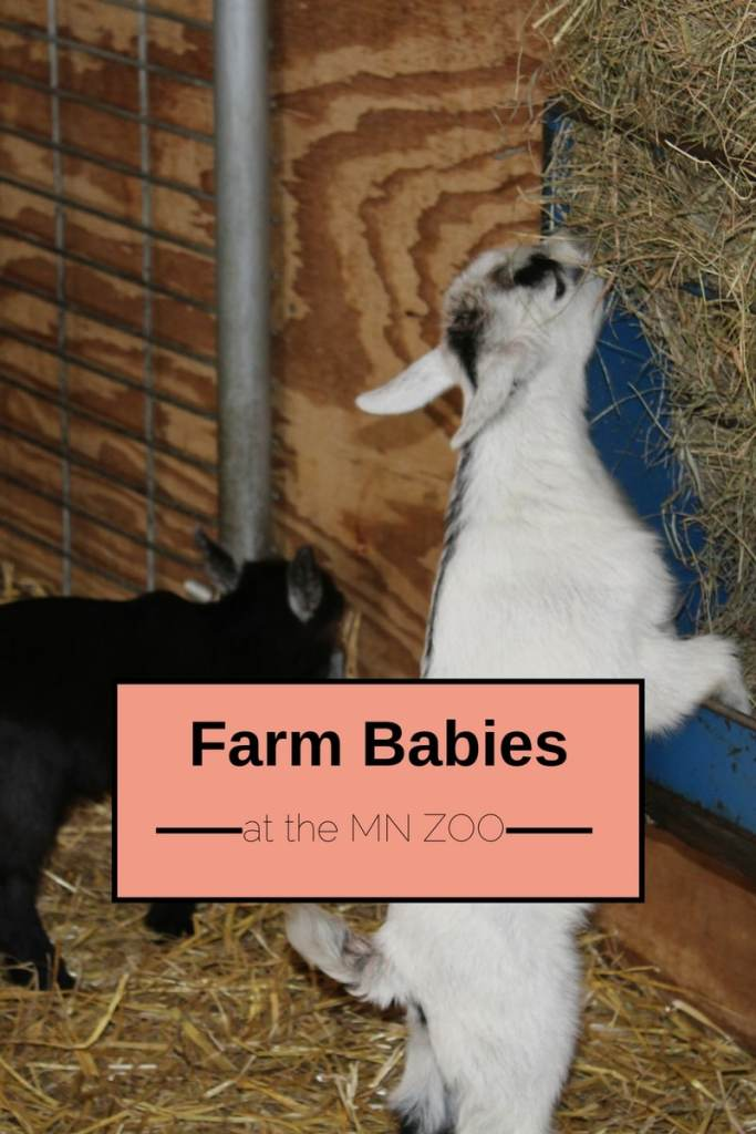 Farm Babies at the MN Zoo. Spring is the best time of the year to meet the newest members of the Zoo. The Twin Cities best activities for the family.